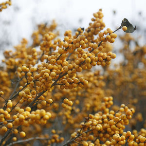 Ilex verticillata Berry Heavy Gold