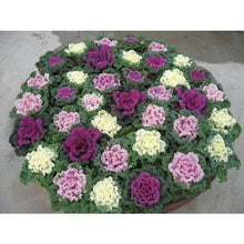 "Load image into Gallery viewer, 8"" Ornamental Kale  - Kamome Red"