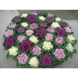 "8"" Ornamental Kale  - Kamome Red"
