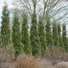 Load image into Gallery viewer, Thuja 'Full Speed A Hedge'