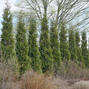 Thuja 'Full Speed A Hedge'