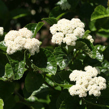 Load image into Gallery viewer, Viburnum All That Glows