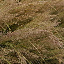Load image into Gallery viewer, Ornamental Grass Calamagrostis brachytricha