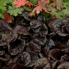 "Load image into Gallery viewer, 4.5"" Ajuga - Black Scallop"