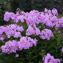 Load image into Gallery viewer, Phlox Garden Girls Uptown Girl