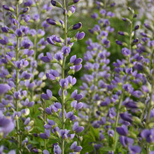 Load image into Gallery viewer, Baptisia 'Blue Bubbly' DECADENCE® Series - Wild Indigo