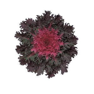 "9"" Ornamental Kale  - Coral Queen"