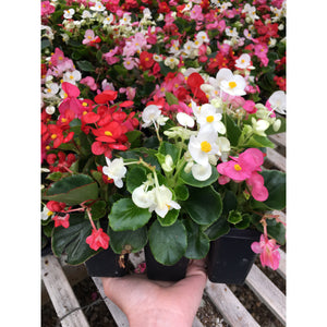 Begonia - Mix Green Leaf