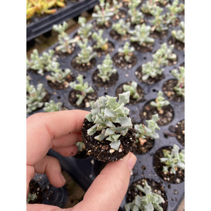5 Assorted Young Succulent Plants