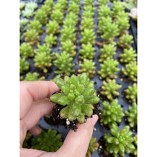 Load image into Gallery viewer, 5 Assorted Young Succulent Plants