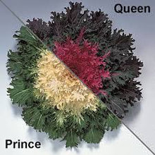 "Load image into Gallery viewer, 9"" Ornamental Kale  - Coral Queen"