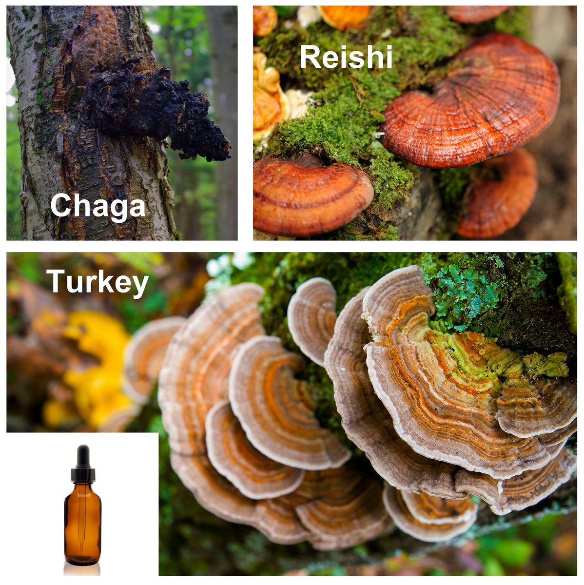 Reishi, Chaga, and Turkey Tail images
