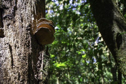 mushroom growing on the tree in the forest
