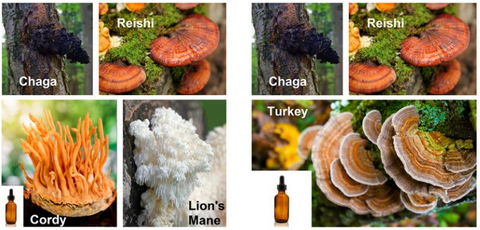 Reishi, Chaga, cordy, and Turkey Tail