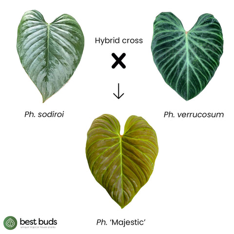 Philodendron 'Majestic' is a hybrid cross between Philodendron verrucosum and Philodendron sodiroi