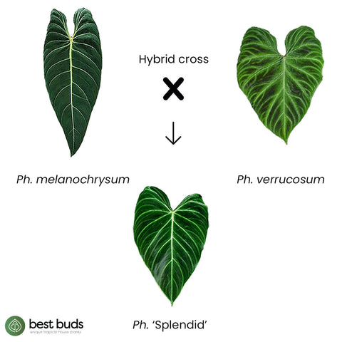 Philodendron 'Splendid' is a hybrid cross between Philodendron verrucosum and Philodendron melanochrysum