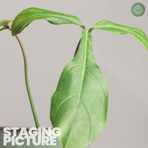Philodendron 69686