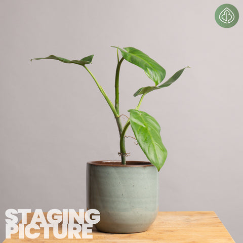 Philodendron oxapapense