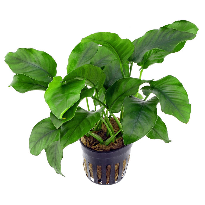 Aquatic Fresh Water Plant - Pot/Bunch