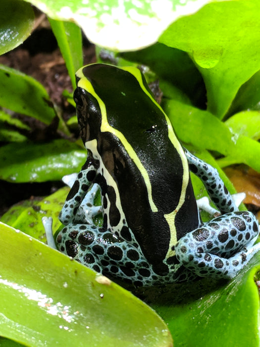 "Dendrobates Tinctorious ""Powder Blue"""
