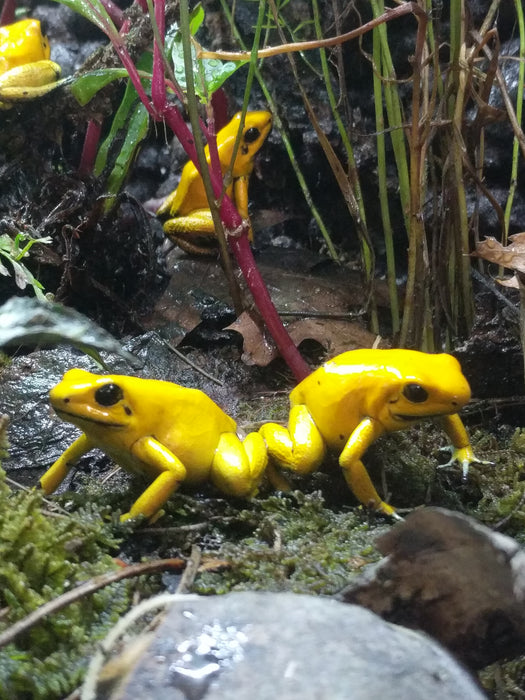 "Phyllobates Terribilis ""Yellow"""