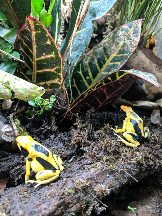 "Dendrobates Tinctorius ""Giant Orange"""