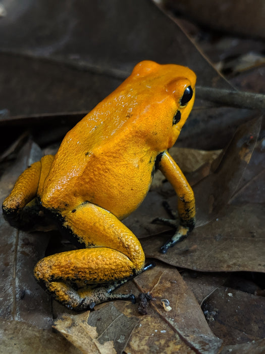"Phyllobates Terribilis ""Orange"""