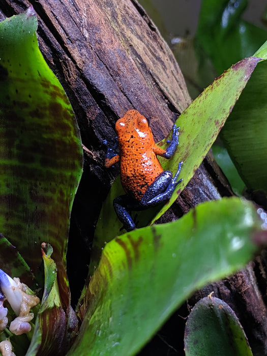 "Oophaga Pumilio ""Strawberry Blue Jeans"""