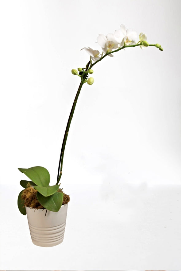 Medium Phalaenopsis Orchid