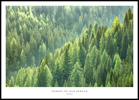 Forest of Old Spruce Poster