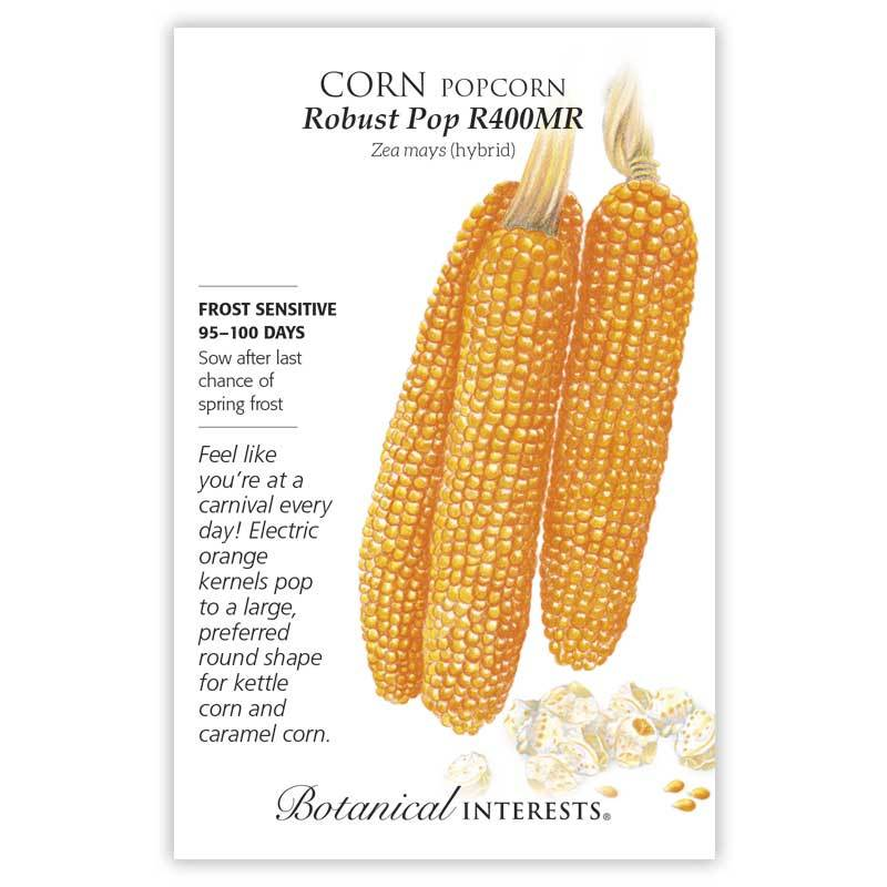 Popcorn Corn 'Robust Pop R400MR' Seeds