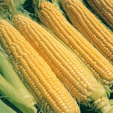 Sweet Corn 'Illini Xtra Sweet' F1 Treated Seeds