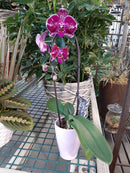 Orchid Phalaenopsis Assorted Colors