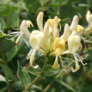 LONICERA  -  'Scentsation' Honeysuckle