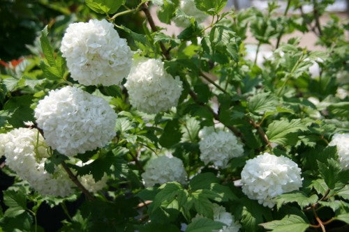 VIBURNUM – Common Snowball Bush