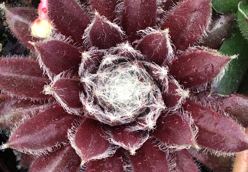 Sempervivum Chick Charms® 'Cosmic Candy'™ Hen and Chicks