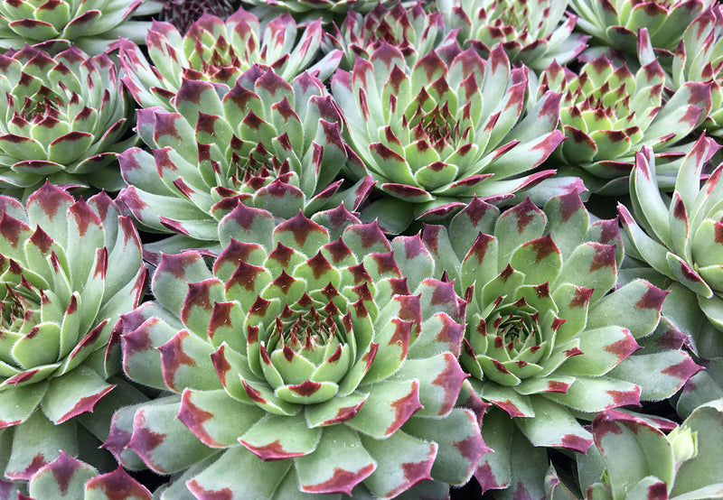 Sempervivum Chick Charms® 'Mint Marvel'™ Hen and Chicks