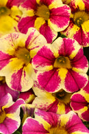Calibrachoa Candy Shop