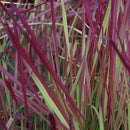 Imperata Cylindrica - 'Red Baron' Japanese Blood Grass