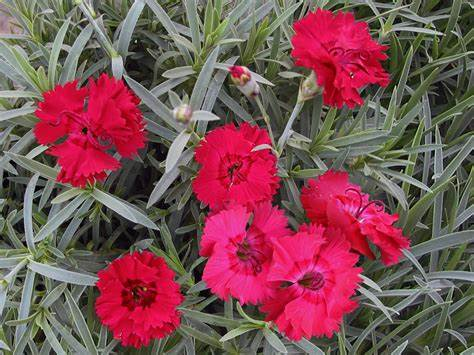 Dianthus - 'Fire Star' Pinks
