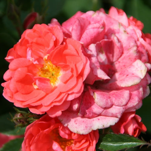 ROSE SH DR – CORAL DRIFT® Groundcover Rose