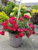 ROSE SH DR  -  RED DRIFT® Groundcover Rose