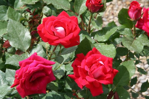 ROSE SH  -  TAKE IT EASY™ EASY TO LOVE® Shrub Rose