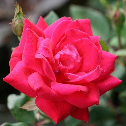 ROSE SH KO – THE DOUBLE KNOCK OUT® Shrub Rose