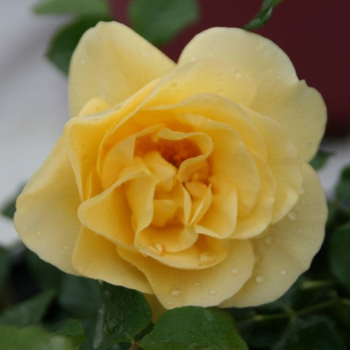 ROSE SH EE – 'High Voltage' EASY ELEGANCE® Shrub Rose