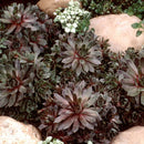 Sempervivum 'Silverine' Hen and Chicks