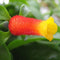 Manettia Candy Corn Vine