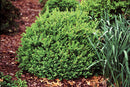 Buxus North Star Boxwood