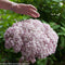 Hydrangea arborescens Incrediball Blush
