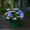 Hydrangea macrophylla Let's Dance Rhythmic Blue